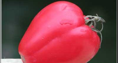 Tiramisu Love Roméo, tuile parmesan gingembre - Galbani